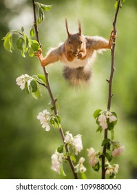 red squirrel in a split between apple flower branches