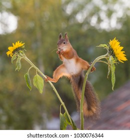 red squirrel is in a split between sunflowers