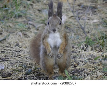 A red squirrel standing