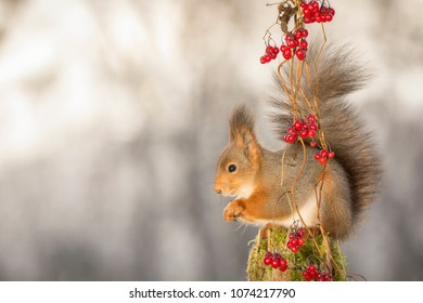 Red squirrel is standing behind berries on a tree trunk