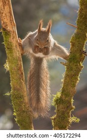 red squirrel standing between 2 branches with moss