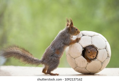 red squirrel standing with an football
