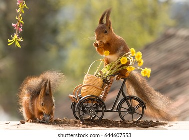red squirrel standing on bicycle with flowers and another squirrel beneath