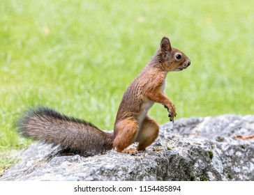 red squirrel standing on big stone on blurred green lawn background
