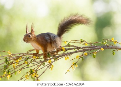 red squirrel standing on a Forsythia branch