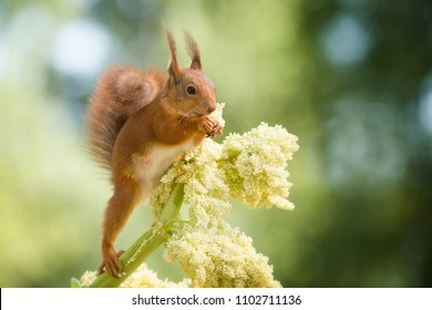 red squirrel standing on an Rhubarb flower