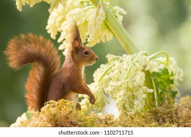 red squirrel is standing with an Rhubarb flower