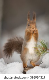 red squirrel standing in snow with pine branch