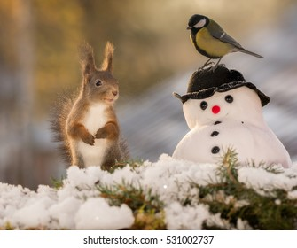 red squirrel standing with a snowman and a titmouse on it with back light