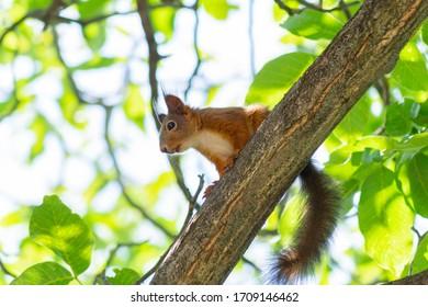 Red Squirrel thinking on Branch, Balatonakarattya, Hungary.