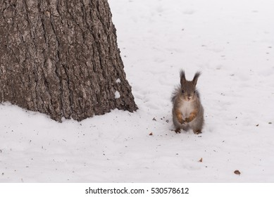A red squirrel in the University park in Moscow