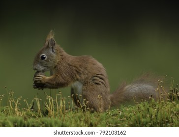 Red Squirrel with a walnut in a posses in a lovely moss bed