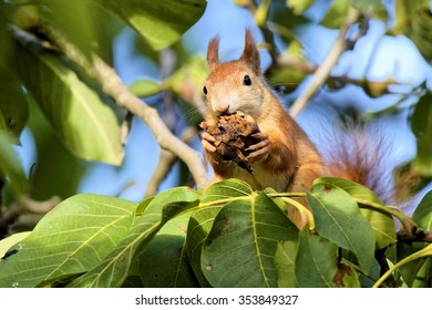 red squirrel in a walnut tree