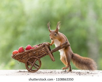 red squirrel and an wheelbarrow with Strawberries