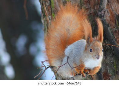Red squirrel in the winter on the branch eating a walnut