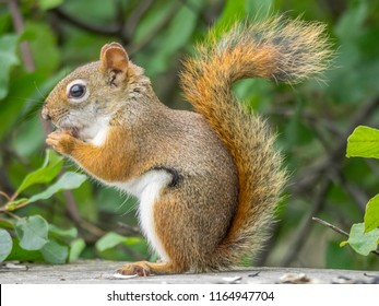 Red squirrel in the woods, eating birdseed