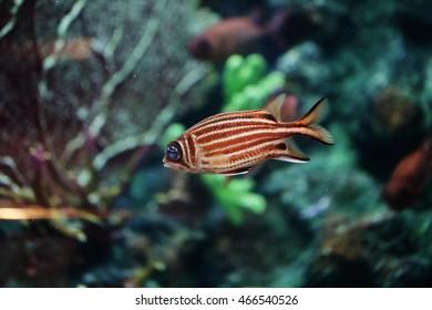Red squirrelfish