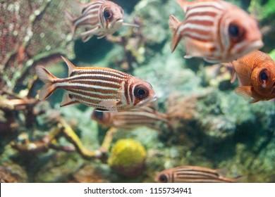 Red squirrelfish swimming in aquarium. Sargocentron rubrum fish