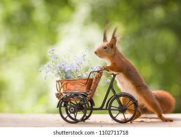 red squirrels with forget me not and an bike
