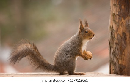 red squirrels is holding an nut