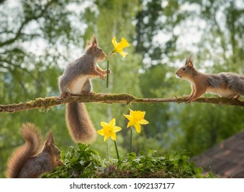 red squirrels on a branch with narcissus