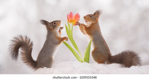 red squirrels are touching an tulip in the snow