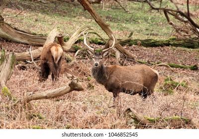 Red Stag Deer in an English Park (Cervus Elaphus)