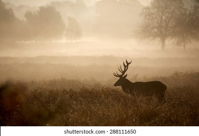 Red Stag deer in the mist