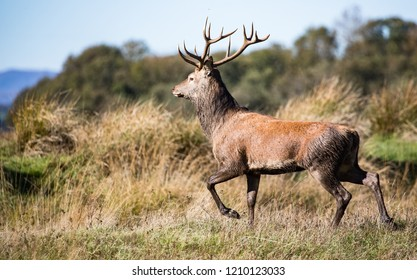 Red stag deer runnning through a grassy meadow during autumn, Killarney national park, Irreland