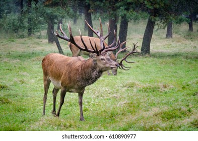 Red stag double