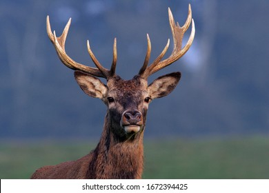 Red Stag during the rut - Red Deer - male (Cervus elaphus)
