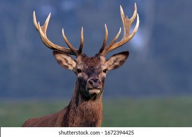 Red Stag during the rut - Red Deer - male (Cervus elaphus)