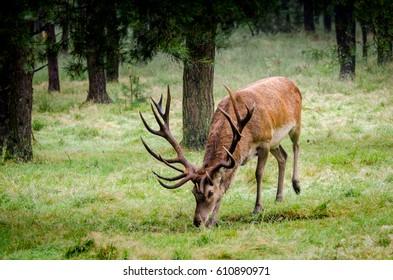 Red stag feeding