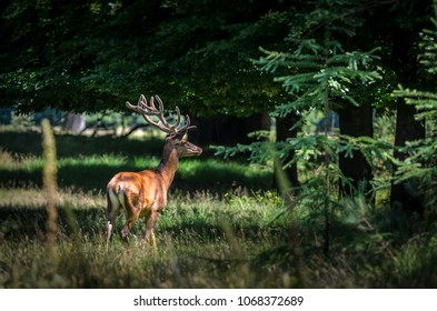 Red stag in the forest