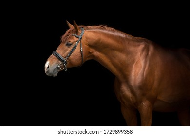 Red stallion close up portrait on black backgound