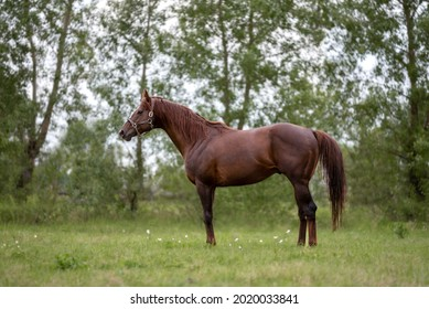A red stallion of a thoroughbred horse breed in a bridle stands quietly in the shade of trees on a pasture in summer.