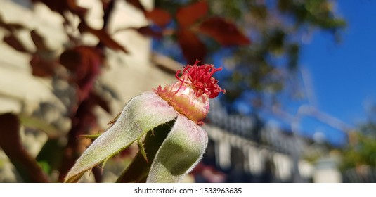 Red stamens of an empty rose without petals on an autumn evening