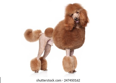 Red Standard Poodle. Portrait on a white background