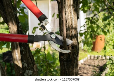 Red and steel garden secateurs pruning a tree