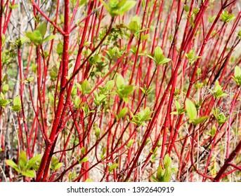 The red stems of a Cornus alba siberian dogwood shrub in spring