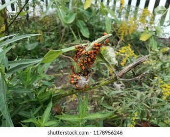 red stink bug babies on a green plant in a garden
