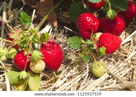 red strawberries on straw in field organic fruits agriculture