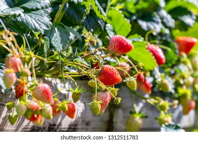 Red strawberries ready to eat in the garden, Strawberry fruits on the branch, Fresh organic strawberry fruit in the plantation.