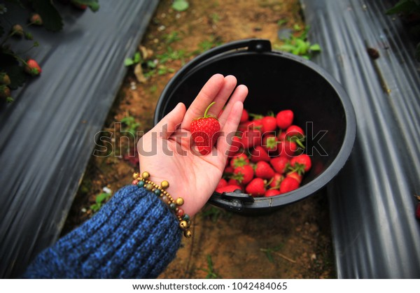 Red Strawberry  in The Farm