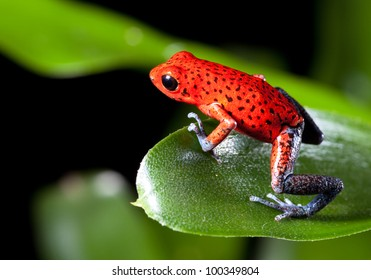 Red strawberry poison dart frog on border of panama and costa Rica poisonous animal of tropical rainforest