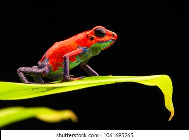 red strawberry poison dart frog Costa rica and Nicaragua. Beautiful poisonous animal from the central american tropical rain forest. Macro exotic amphibian