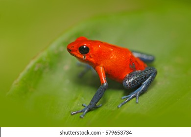 Red Strawberry poison dart frog, Dendrobates pumilio, in the nature habitat, Costa Rica. Close-up portrait of poison red amphibian in the tropical forest. Wildlife from jungle.