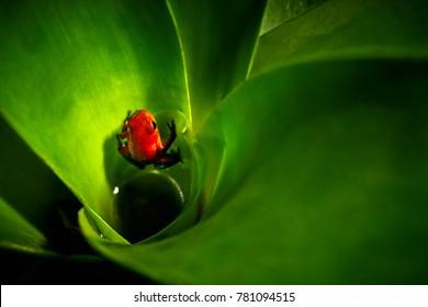 Red Strawberry poison dart frog, Dendrobates pumilio, in the bromelia. Costa Rica.