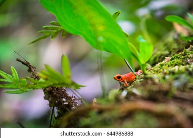 A red strawberry poison-dart frog at the Red Frog Beach, Bocas del Toro, Panama