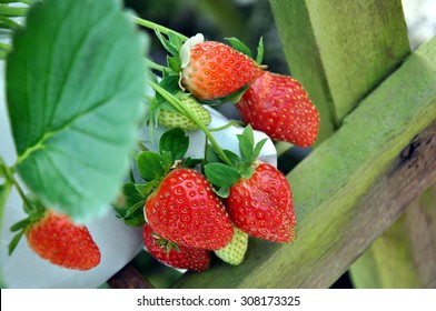 red strawberry ready for picking in a white planting plastic bags symbolizing modern farming